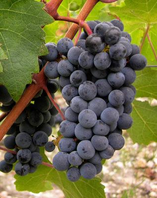 cépage Cabernet-Sauvignon